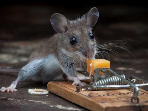 Как избавиться от мышей в частном доме навсегда