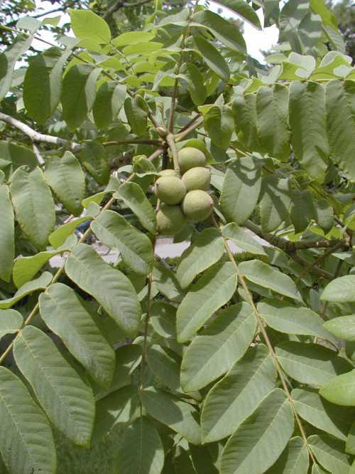 Лечебные свойства листьев грецкого ореха