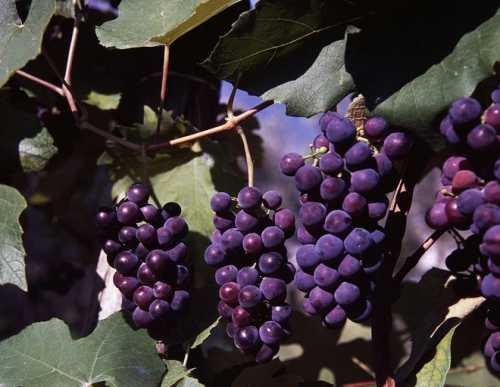Рецепты самогона из винограда в домашних