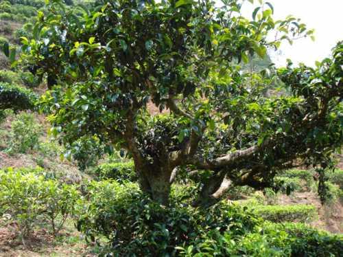 Чай Нет, чайное дерево