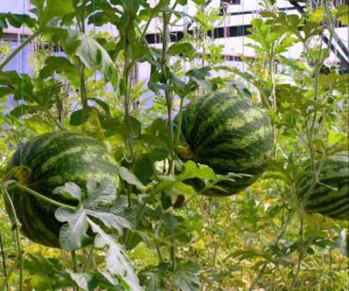 Как вырастить арбуз, выбираем семена и посадочный