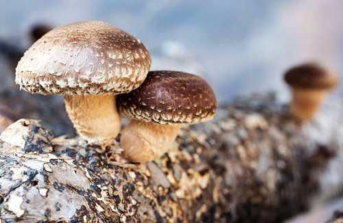 Полезные свойства грибов шиитаке
